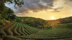 De gröna teplantagen finns på flera platser på Sri Lanka.
